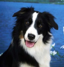 single Border Collie