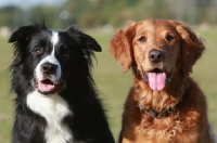 border_collie_and_golden_retri~AP-UK5TBN-TH