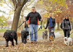Walking with dogs in a group