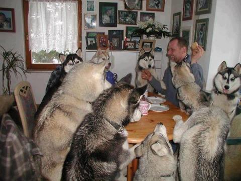 Malamutes at dinner