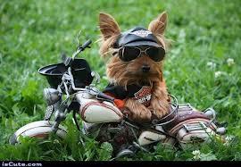 Harley Puppy