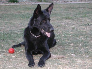 Black Dog Prick Ears