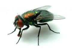 Blowfly adult